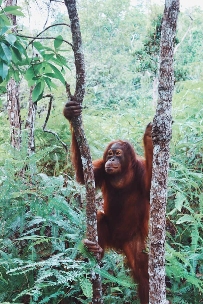 Couples_Coordinates_Indonesian_Orangutans1