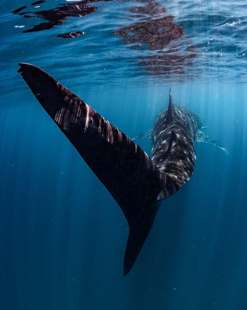 swim with a whale shark exmouth australia