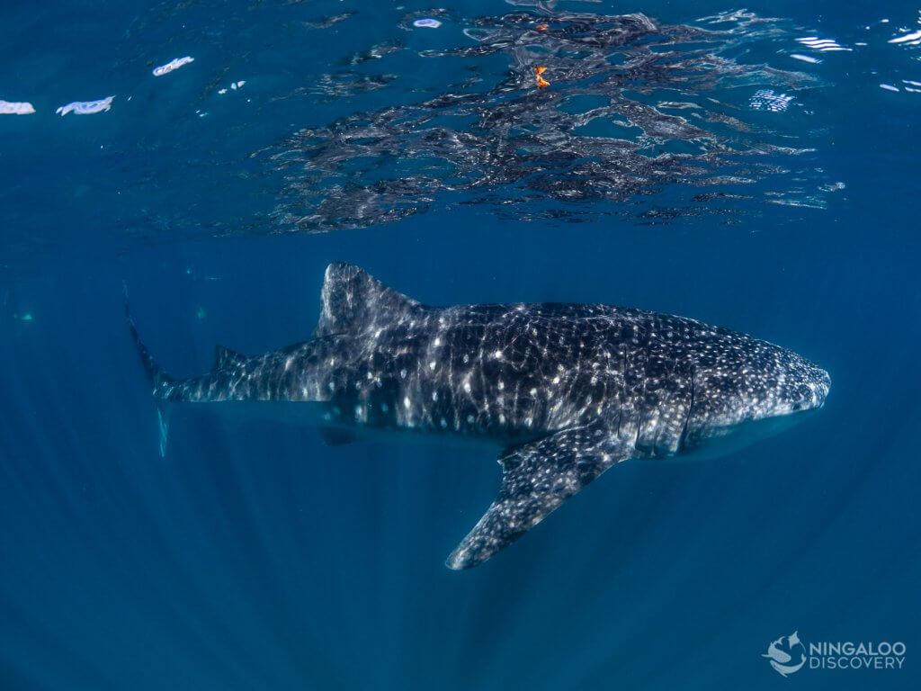 whale shark exmouth australia ningaloo reef